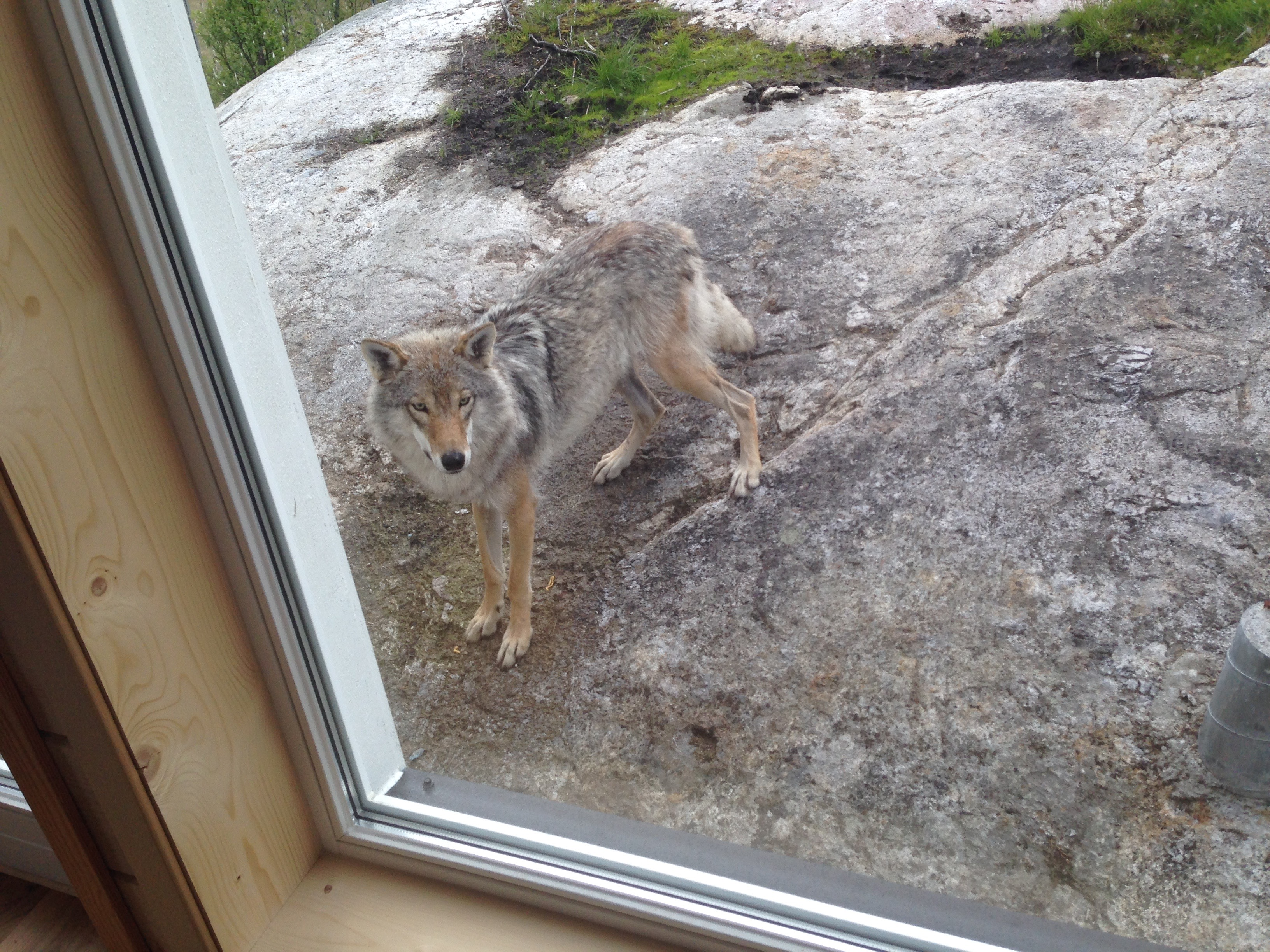 Wolf From The WolfLodge Window
