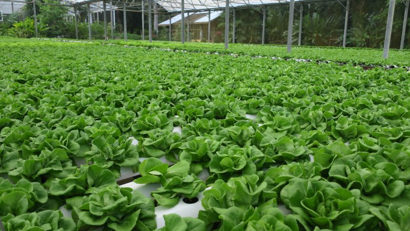 The hydroponic farm at Blue Harbor Arboretum in Roatan Honduras